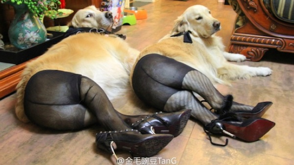 Šunys dėvi pėdkelnes